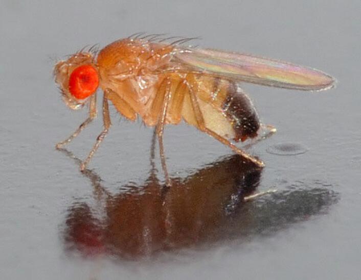 Fruktflue (Foto: André Karwath, Creative Commons)
