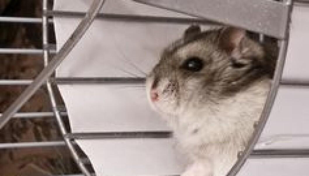 Med regelmessig trening ble musehjertene friskmeldte, selv om musene fortsatt var overvektige og spiste usunn mat. (Illustrasjonsfoto: www.colourbox.no)