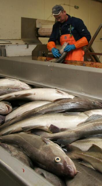 """""""Fiskeindustrien får ikke nok fersk fisk."""""""