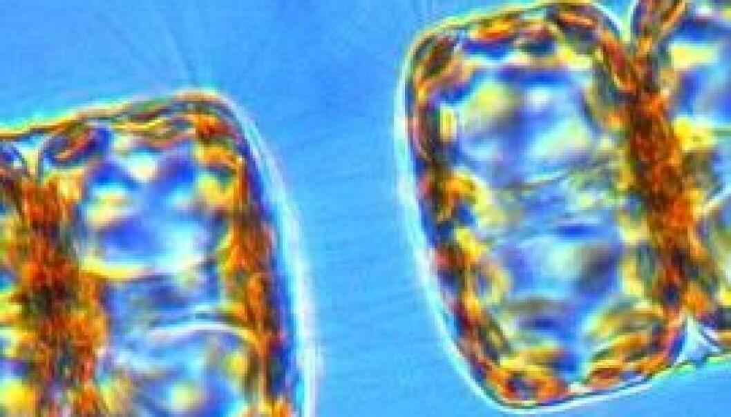 Trass den mikroskopiske storleiken er mikroalgane dei mest produktive organismane på jorda. Dei står blant anna bak 70 prosent av oksygenet i atmosfæren vår. Institutt for arktisk og marin biologi, Universitetet i Tromsø
