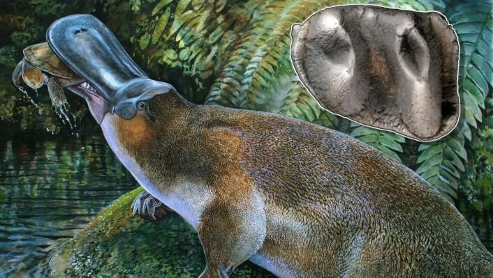 Kjempenebbdyret Obdurodon tharalkooschild kunne ta mykje større bytte enn det dagens nebbdyr kan. (Foto: (Illustrasjon: Peter Schouten))