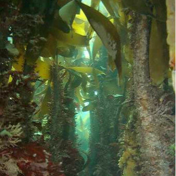 Tareskog har et mangfoldig plante- og dyreliv, og skaper grunnlag for rike fiskerier langs kysten. (Foto: NIVA)