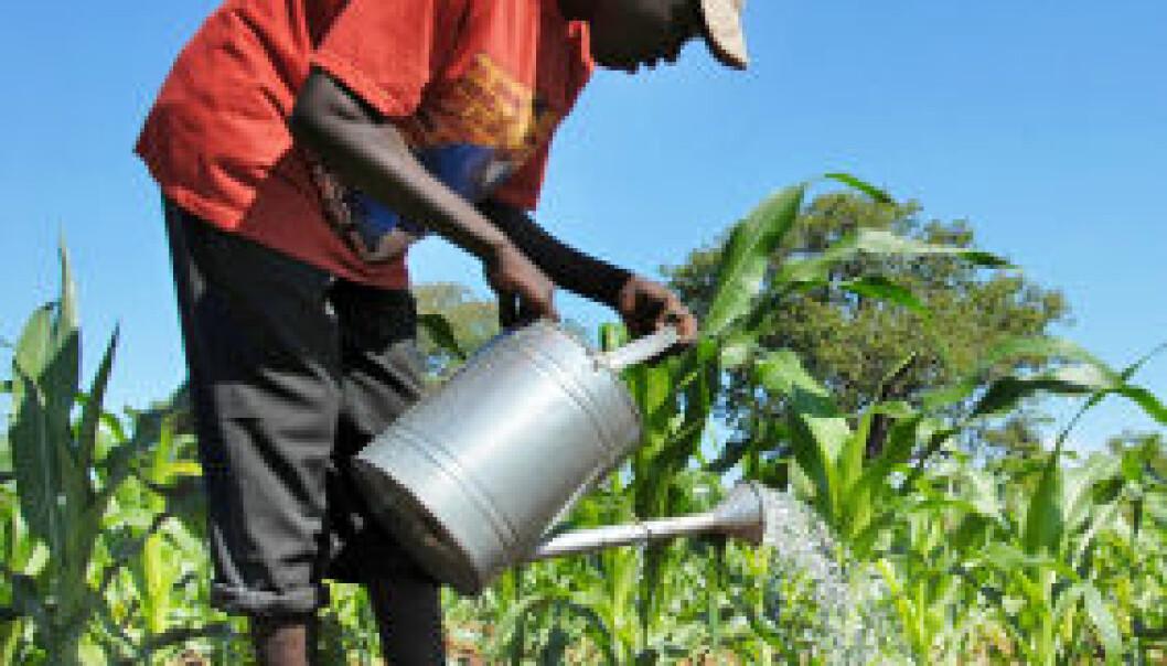 En bonde i Malawi vanner sukkerrørplanter. iStockphoto