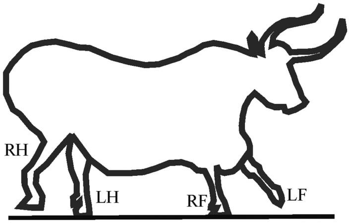 Omrisset av en okse, kopiert av et hulemaleri fra den franske hulen Lascaux. Dette er en korrekt gjengivelse av gangearten til et firbeint dyr.