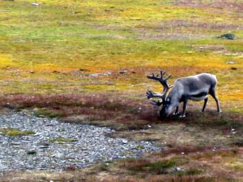 Svalbardreinen er en av planteeterne som trues av mildere vintre. (Foto: Helge M. Markusson, Framsenteret)