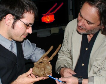 Robert DePalma II (t.v) og David Burnham viser frem T. rex-tanna i halen. Skaden på halebeina har grodd, som betyr at hadrosaurusen levde videre etter å ha blitt bitt. Det betyr at T. rex-en ikke bare kan ha spist døde dyr, mener de. (Foto: David A. Burnham)