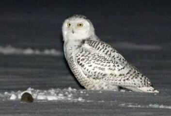 Snøugle en sporadisk hekkefugl, og hekkefrekvensen løper parallelt med lemenår. (Foto: Thor Østbye)