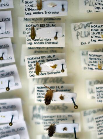 Etter en DNA-sjekk er det mer i insektkassene til Anders Endrestøl som kan artsbestemmes helt sikkert. (Foto: Georg Mathisen)
