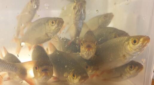 Slik avslører forskerne fremmede fisker i Norge