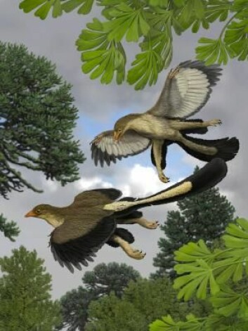 Archaeopteryx hoppet sannsynligvis fra tre til tre og brukte vingene til å sveve med. (Foto: (Illustrasjon: Jakob Vinther))