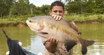 Fisken tambaqui er en av de mest aktuelle artene for oppdrett i Amazonas.» (Foto: (Audun Iversen/Nofima))