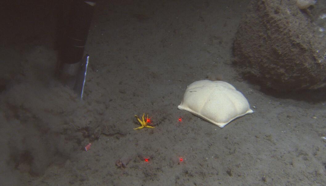 På bildet ser vi den store hvite morkake-sjøkjeksen <i>Peltaster placenta</i>. Den ble observert flere ganger i nærheten av korallrev og oppe på døde korallblokker. Denne sjøstjernen med korte armer kan vokse seg stor som en middagstallerken. <br>Foto: Mareano / Havforskningsinstituttet