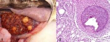 Til venstre: Francicellose hos torsk. Mange små betennelsesknuter i milt. Til høyre: Betennelsesknute slik den ser ut i mikroskopet. (Foto: Mona Gjessing)
