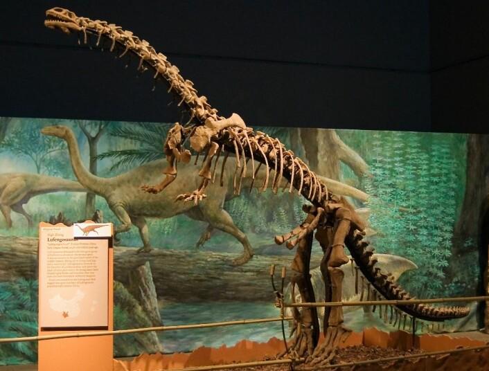 Lufengosaurusen kunne bli opptil ni meter lang. Den levde for i tidlig-jura, for mer enn 175 millioner år siden. (Foto: P. Gilston)