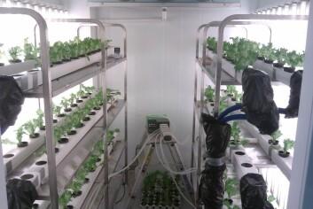 Salatforsøket ble driftet som et hydroponikk-system (uten jord) hvor plantene fikk tilført avløpsvann med jevne mellomrom. Salaten fikk redusert vekst. (Foto: Ole-Kristian Hess-Erga/Niva)