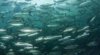 Oppdrettslaksen kveles av varmere hav