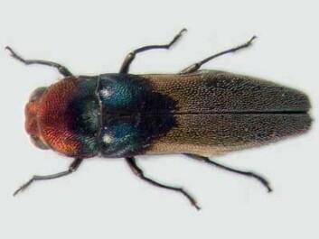 """""""Denne praktbillen er bare kjent fra Frode Ødegaards materiale. Agrilus rossanae (7 mm) er kun kjent i ett eksemplar, og banket ned fra en liane 20 meter over bakken. Foto: Gianfranco Curletti."""""""
