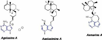 """""""Agelasin A, agelasimin A og asmarin A er tre varianter av de kjemiske våpnene som marine svamper bruker for å beskytte seg mot angripere."""""""