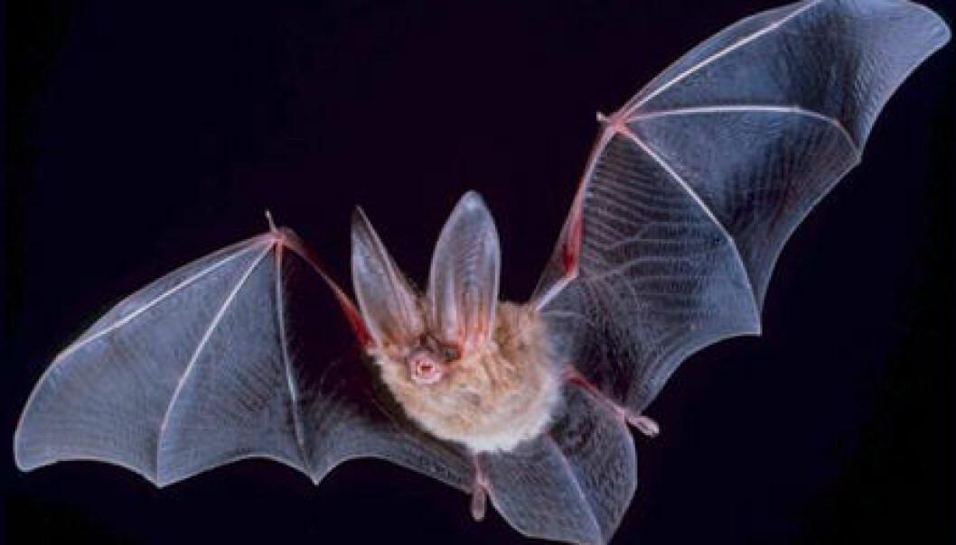 Storøret Townsend Flaggermus PD-USGov/Wikimedia Commons