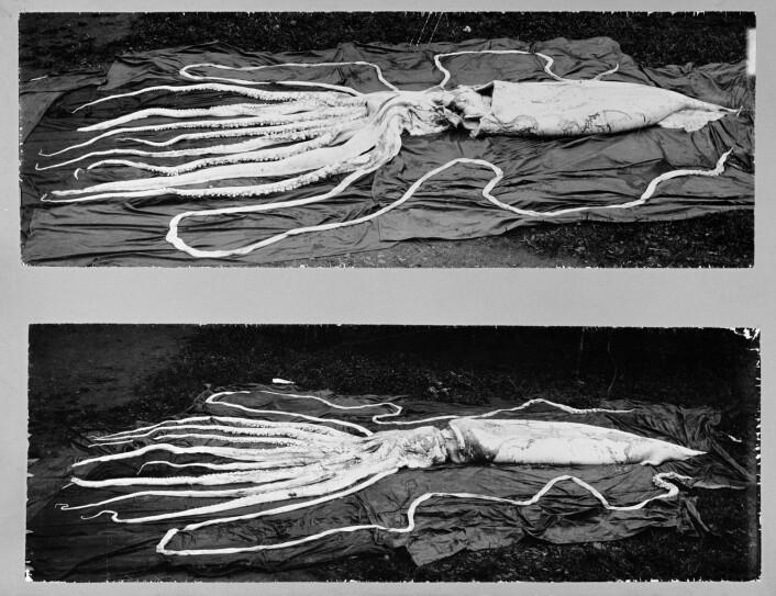 Dette er de to største kjempeblekksprutene som er funnet i Norge. Den ene er 10 og den andre 12 meter lang med armene. De ble funnet på Hemne i 1896. (Foto: NTNU Vitenskapsmuseet)