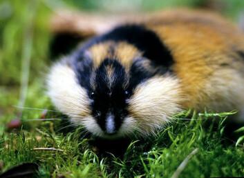 Lemen har et høyt reproduksjonspotensiale; dyrene kan bli kjønnsmodne allerede tre uker gamle og en hunn kan få tre til fem kull i løpet av en sommer. (Foto: Framsenteret)