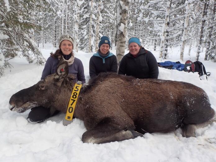 HINN-forskerne Alina Evans, Alexandra Thiel og Anne Randi Græsli ved en bedøvet elg som deltok i prosjektet.