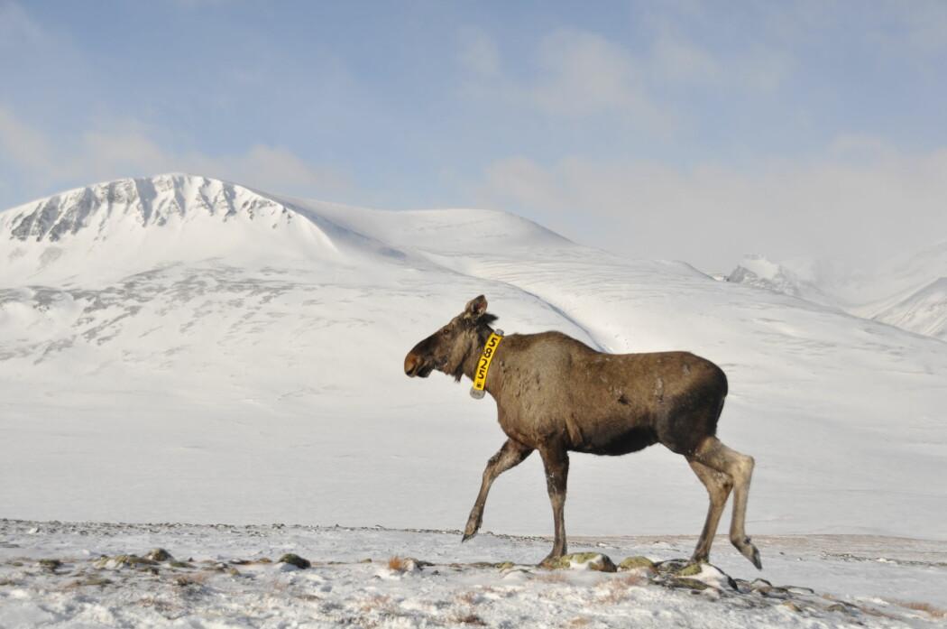 Forskerne utstyrte elgene med GPS-halsbånd og andre instrumenter for å måle temperatur, hjerteslag og aktivitet.