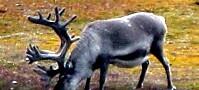 Dyreliv på Svalbard under klimapisken