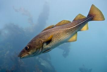 Delvis vern av fisk førte til økning i tetthet og størrelse av torsk. (Foto: Øystein Paulsen, Havforskningsinstituttet)