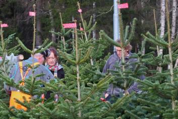 Kvart år produseras nærare ein million juletre i Noreg. (Foto: Ragnar Våga Pedersen)