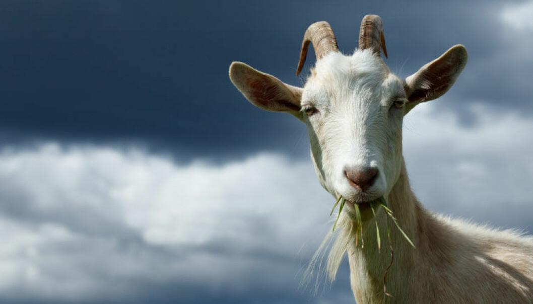 God kontakt mellom bonde og geit gir friskere dyr