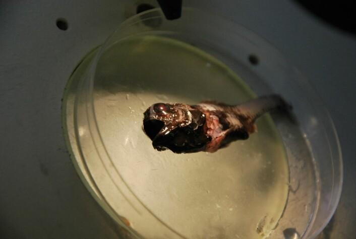 Dette var en ny krabat for forskerne på G. O. Sars, som har arbeidet lite i Irmingerhavet. Familien denne fisken kommer antagelig fra har ikke noe norsk navn, men heter kogleskælsfisk på dansk. (Foto: Hanne Østli Jakobsen)