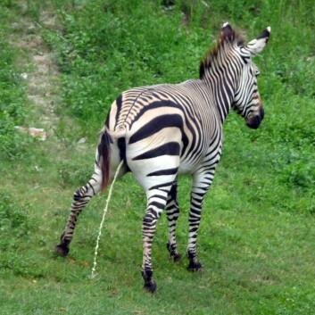 En sebra bruker like lang tid på å tisse som dyr som er langt mindre eller større. (Foto: Ealasaid, tilgjengeliggjort av Wikimedia Commons)