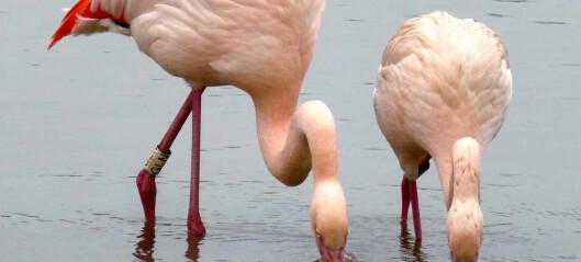 Flamingoer får bestevenner, akkurat som mennesker