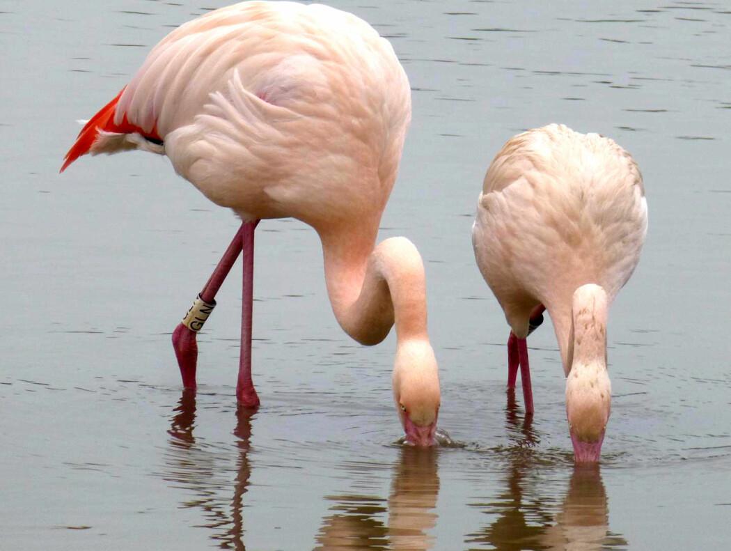 Flamingo-venner henger sammen, under en hals-lengde fra hverandre.