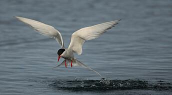 Denne trekkfuglen flyr fra Sydpolen til Nordpolen på et par uker