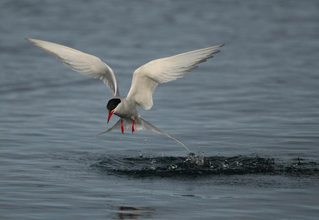 Den vesle rødnebbterna flyr mellom Antarktis og Arktis på noen uker.