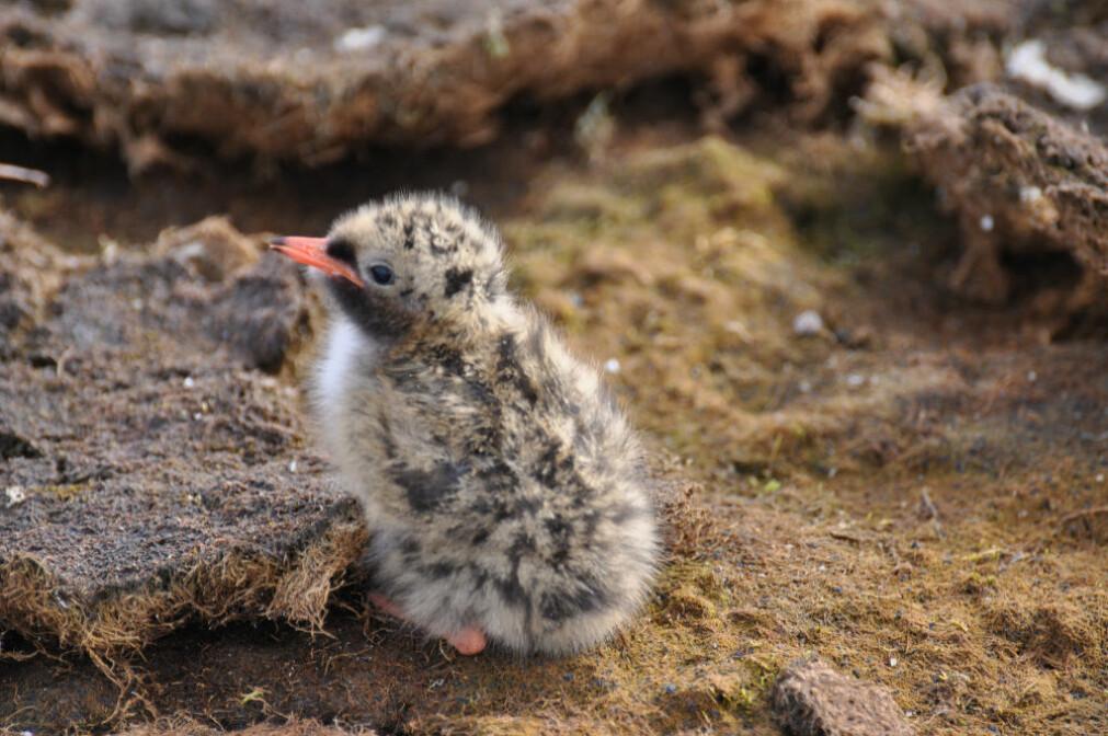 Rødnebbterne-ungene blir flygedyktige i en alder av tre til fire uker. Når høsten kommer forlater de Svalbard, retning Antarktis, sammen med resten av flokken.