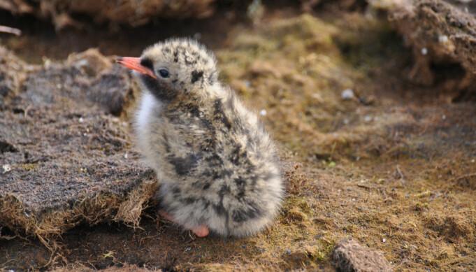Rødnebbterne-ungene kan fly når de er tre til fire uker. Når høsten kommer forlater de Svalbard, retning Antarktis, sammen med foreldrene. (Foto: Geir Wing Gabrielsen)