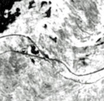 Slik ser satelittbildet ut når det lastes ned. Flere bilder settes sammen til et fargebilde slik at forskerne kan tolke dem. De helt svarte feltene er vann. Jo mørkere flekker desto mindre levende vegetasjon. Vi ser Vassiaure til venstre og E-10 og jernbanen mellom Narvik og Kiruna slynge seg over bildet. (Foto: Framsenteret)