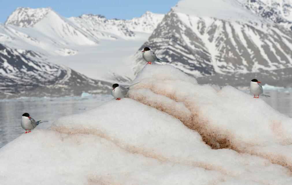 Rødnebbterner på isflak i Kongsfjorden.