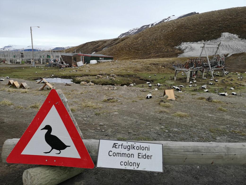 Ærfugler hekker ved hundegården i Longyearbyen. Støyen derfra gir en mulig beskyttelse mot andre rovdyr. Longyearbyen Ornitologiske forening har bygd tak til beskyttelse mot rovfugl, over reirene til ærfuglene.