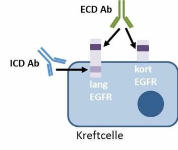 Antistoffer, forkortet Ab, er små molekyler som binder seg til bestemte områder på spesifikke proteiner. ECD Ab binder seg til et område av EGFR som er utenfor cellen og som fins hos både den korte og den lange versjonen av EGFR. ICD Ab binder seg til et område av proteinet som er på innsiden av cellen og som bare fins hos den lange versjonen av EGFR. Hvis vevsprøven bare viser positiv farging med ECD Ab og ikke ICD Ab, betyr det at svulsten bare lager den korte varianten av EGFR. (Foto: (Figur: Bjørg Mikalsen))