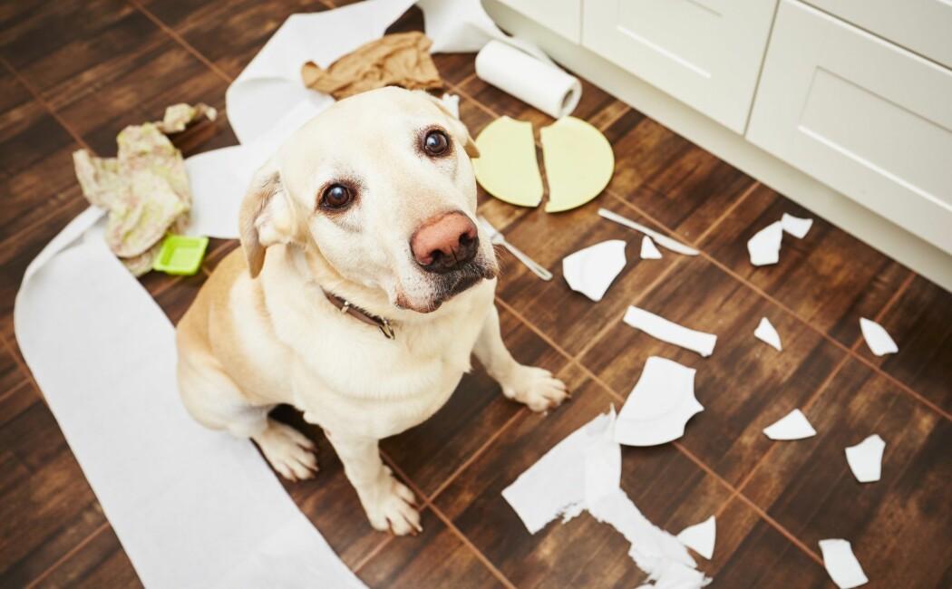 Når hunden er blitt ungdom, opplever en del hundeeiere at søtnosen ikke er så lydig lenger.