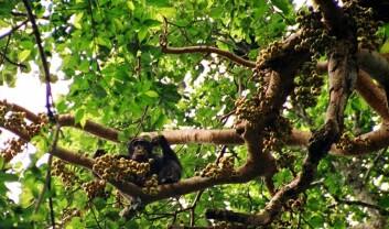 Denne sjimpansen er i ferd med å sette til livs en hel haug fiken. Sjimpanser og andre aper spiser frukt, og sprer frøene til frukten i prosessen. Så når apene forsvinner, blant annet på grunn av jakt, er trærne også i fare. (Foto: Drrobert/Wikimedia Creative Commons)