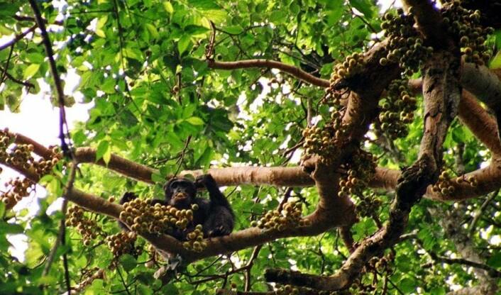 Sjimpanser og andre store aper spiser frukt, og sprer frøene via avføringen. Så når apene forsvinner, blant annet på grunn av jakt, er trærne også i fare. (Foto: Drrobert/Wikimedia Creative Commons)