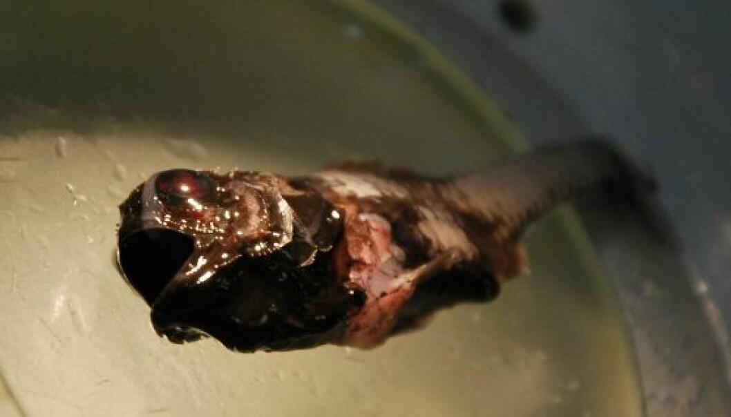 Dette var en ny krabat for forskerne på G. O. Sars, som har arbeidet lite i Irmingerhavet. Familien denne fisken kommer antagelig fra har ikke noe norsk navn, men heter kogleskælsfisk på dansk. Hanne Østli Jakobsen