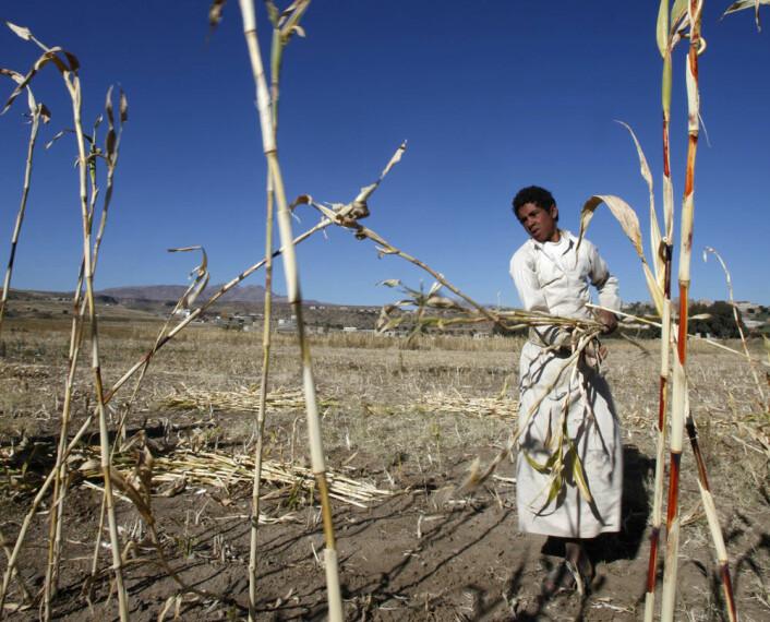 En landbruker høster fôr til dyra på en åker i nærheten av Sanaa i Jemen. Landet har slitt med stadig tørrere klima magre avlinger. (Foto: Khaled Abdullah, Reuters)