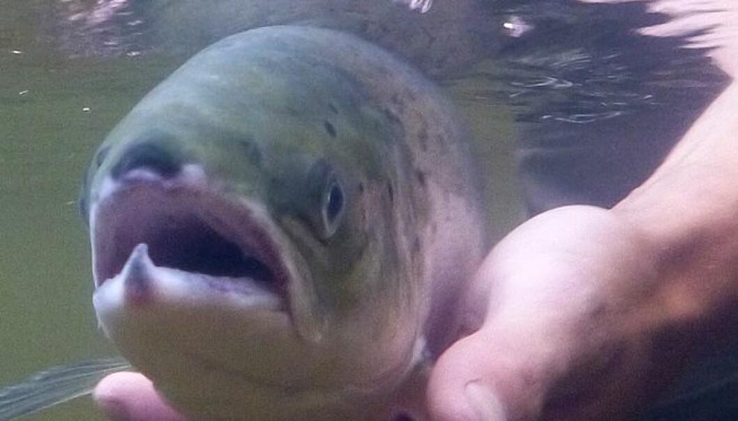 Flere lar fisken leve