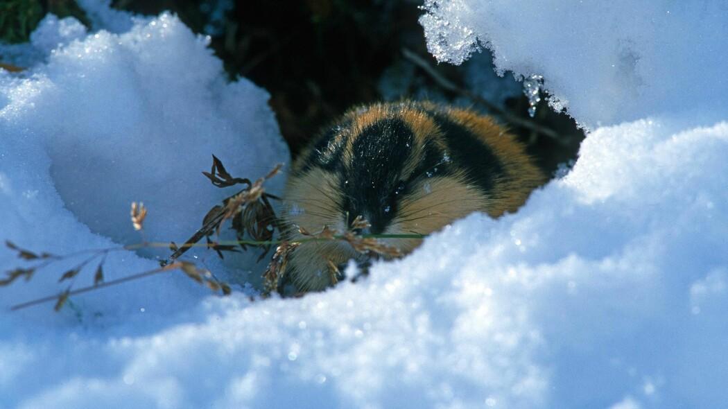 Lemen er tilpasset et liv i snøen.